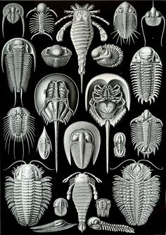 """56degreesfahrenheit: Ernst Haeckel's """"Aspidonia"""", recognized today as a big paraphyletic grouping. Plate is from Haeckel's """"Kunstformen der Natur""""."""