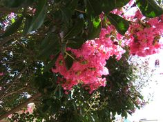fiori di Lagerstroemia