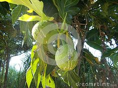 GBreadfruit artocarpus atilis hanging on the tree