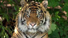 Tigres de Sumatra