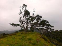 Great Barrier Island - New Zealand Okiwi Coastal Track and Harataonga Bay (Aotea) Spooky Trees White Sand Beach, Ocean Beach, Spooky Trees, Auckland New Zealand, Forest Mountain, Flamboyant, Crystal Clear Water, Coastal, Surfing