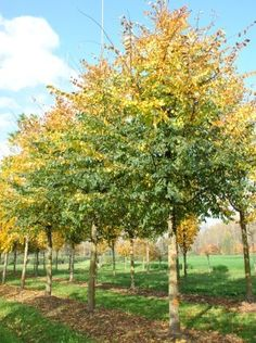 Ulmus minor 'Cloud Corky' #tree #autumn #colours www.vdberk.co.uk