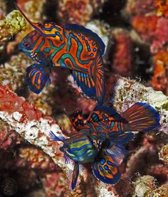 Mandarin - Synchiropus splendidus Look at this guy, very very colorful #Beautiful #fish #aquarium