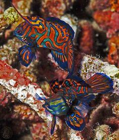Mandarin - Synchiropus splendidus The clown fish has nothing on this guy...