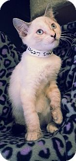 Prattville, AL - Domestic Shorthair. Meet Snow White 20627, a kitten for adoption. http://www.adoptapet.com/pet/10976947-prattville-alabama-kitten