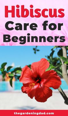 Are you interested in bigger, better, and longer hibiscus blooms? Then read the Ultimate Guide to Indoor Hibiscus Care for expert tips! Hibiscus Tree Care, Hibiscus Bush, Growing Hibiscus, Hibiscus Garden, Hibiscus Plant, Hibiscus Flowers, Exotic Flowers, Purple Flowers, Hibiscus Flower Meaning