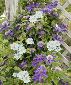 Look at this Multi-Blue Clematis - Set of Two by Cottage Farms Direct Blue Clematis, Clematis Plants, Clematis Vine, Clematis Varieties, Indigo Flower, Flowering Vines, That Way, Compost, Perennials