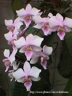 Phalaenopsis Venus x schilleriana