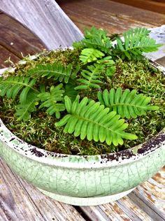 DIY Terrarium Kit: Live Mini Woodland Fern and Sphagnum Moss