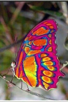 Eastwest Falian Fire Clipper Butterfly                                                                                                                                                      More