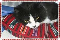 Marietta, GA - Domestic Shorthair. Meet CALLIE, a cat for adoption. http://www.adoptapet.com/pet/13164995-marietta-georgia-cat