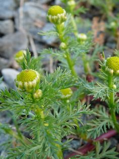 Pineapple weed flower s and leaves are a tasty finger food while hiking or toss in salads. Flowers can also be dried out and crushed so that it can be used as flour. As with chamomile, pineapple weed is very good as a tea. Pineapple weed flowers may become bitter by the time the plant blooms, but are still good to eat.