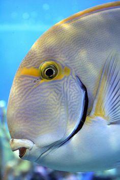 Whitespine Surgeonfish by blueDonkey, via Flickr