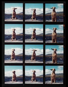 Fay on the Dock by William Wegman for 20x200—available starting at $120.00