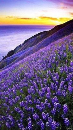 Big Sur, California, USA ~ Purple lupines on the oceanfront cliffs. My first memories of Big Sur were on family vacations as a small child. Beautiful World, Beautiful Places, Beautiful Beautiful, Beautiful Scenery, Landscape Photography, Nature Photography, Free Photography, Vintage Photography, Travel Photography