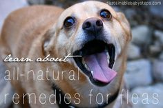 All-Natural Home Remedies for Fleas, via SustainableBabySteps.com