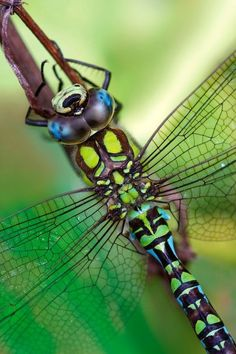 Southern Hawker Dragonfly bugs-and-insects Macro Fotografie, Fotografia Macro, Beautiful Bugs, Beautiful Butterflies, Amphibians, Reptiles, Tattoos Motive, Dragonfly Art, Dragonfly Photos