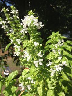 20 Fresh Sweet Basil Seeds ~ FREE SHIP
