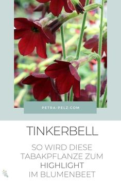 Die Sorte Tinkerbell wird Dank ihrer ungewöhnlichen Farbkombination garantiert zum Highlight in deinem Staudenbeet. Die schlanken grünen Trompeten öffnen sich zu einem rosa-rot-braunen Gesicht mit hellblauen Staubgefäßen in ihren Zentren. Einfach wunderschön. Dieser Ziertabak ist stark blühend, beginnend im späten Frühjahr und den ganzen Sommer über.  Nutzpflanzen | Tabak | Besondere Stauden | einjährige Pflanzen | exotische Stauden | Stauden für Sonne | Ziertabak #petrapelz Stark, Petra, Scarlet, Tinkerbell, Plants, Bee Friendly Plants, Summer Flowers, Planting, Exotic
