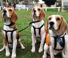Don't Overdo It   The Do's and Don'ts of Beagle Hunting