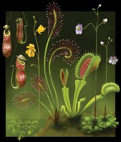 super cute stylization of these plants.Carnivorous plants - from left to right: Nepenthes (Tropical pitcher plant), Utricularia (Bladderwort), Drosera (Sundew), Dionaea (Venus flytrap), Pinguicula (Butterwort). Weird Plants, Unusual Plants, Exotic Plants, Unusual Flowers, Plant Illustration, Botanical Illustration, Botanical Prints, Bog Garden, Garden Plants