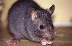 Dicas caseiras para eliminar traças, ratos e formigas | Cura pela Natureza.com.br