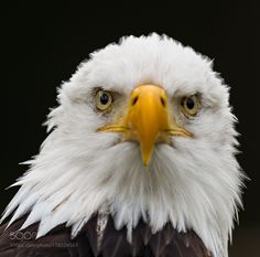 sea eagle... by thorbenvogel #animals #animal #pet #pets #animales #animallovers #photooftheday #amazing #picoftheday