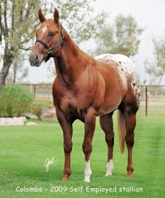 19 Best Appaloosa Horses for sale images in 2016 | Appaloosa
