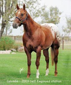 Appaloosa Horses for Sale   Colombo, Appaloosa Stallion in California