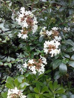 """Abelia floribunda - Este arbusto semi-perenne es preferible podarlo después de la floración (a principios de invierno) recortando a ras del suelo las ramas de mas de 3 años, rebrotará y florecerá con facilidad. Sus """"racimos"""" de flores comienzan a verse a principios de verano y duran hasta terminado el otoño. Proteger frente a las heladas."""