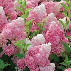 Vanilla Strawberry Hydrangea. Full sun to part shade. Well drained moist soil. Blooms mid summer to fall.
