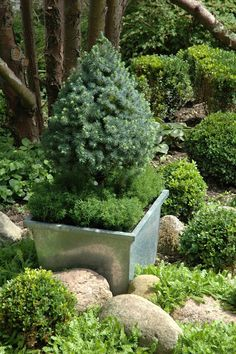 Small evergreen trees in pots :-)