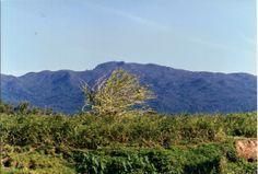 Arbol de Higuera en la llanura Frente a El Yunque.