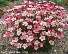 saxifraga arendsii - pretty in pink - I wonder if I could keep them from dying Beautiful Flowers Pictures, Flower Pictures, Amazing Flowers, Amazing Gardens, Beautiful Gardens, Rock Plants, Stay Wild Moon Child, Alpine Plants, Low Maintenance Landscaping