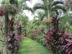Very tropical corridor by Akos Kokai, via Flickr. Cordyline fruticosa and veitchia merrillii (manila palm)