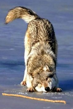 Gray wolf(Canis lupus) plays with stick. Every wolf is a dog at heart.and every dog is a wolf at heart. Wolf Spirit, My Spirit Animal, Animals And Pets, Funny Animals, Cute Animals, Nature Animals, Wild Animals, Wolf Pictures, Animal Pictures
