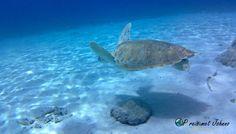Tip 2 van mijn vakantie op curacao. Snorkelen met schildpadden op playa grnadi Turtle, Animals, Turtles, Animales, Animaux, Tortoise, Animal, Animais
