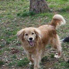 #Lostdog 6-24-14 #EstillSprings #TN #FranklinCounty Nash Lane Female mixed breed #GoldenRetriever #Collie mix Cream/Tan 25 lbs 615-613-2410 From #Antioch #TN Near #Nashville https://m.facebook.com/story.php?story_fbid=547167318721412&id=349733008464845