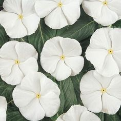 Vinca Pacifica XP Pure White