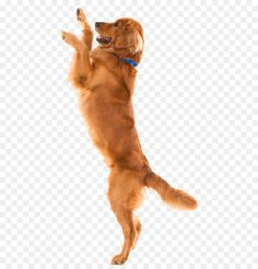 Golden Retriever Labrador, Retriever Puppy, Morkie Puppies, Dogs And Puppies, Tamaskan Dog, Northern Inuit Dog, Dog Clip Art, Dog Wash, Dalmatian Dogs