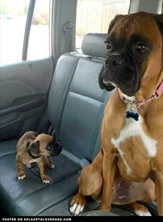 They grow up fast LOVE BOXERS! | Cute