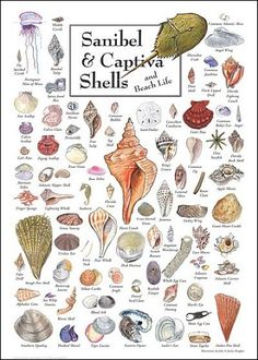 Sanibel & Captiva Shells & Beach Life Poster - we've found quite a few of these in abundance on our trips there.