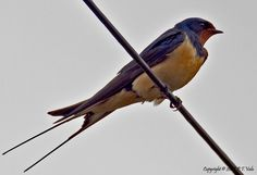 Barn swallow - possibly my fave birdy