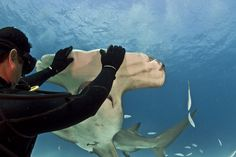 Diver Eli Martinez touches a hammerhead shark with both hands; photo by Paul Spielvogel