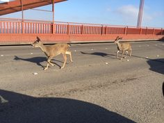 Two deer ran into traffic on the Golden Gate Bridge Friday, just in time for the evening commute.
