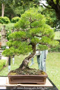 Chinesischer Wacholder (Juniperus chinensis)