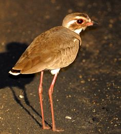 The Bronze-winged Courser or Violet-tipped Courser (Rhinoptilus chalcopterus) is a species of bird in the Glareolidae family. It is found throughout Sub-Saharan Africa.