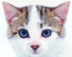 Nautral remedy for ear mites in cats... You could also add young living essential oil purification to this as well!
