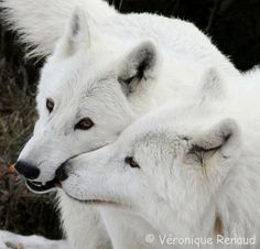pictures of white wolves | Beautiful White Wolf Pictures