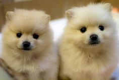 Pomeranian Puppies    These puppies are growing up fast! 3 months old and they seriously look like polar bears